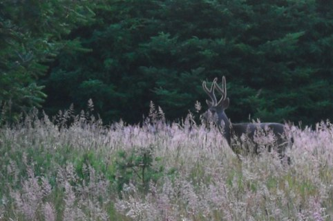 a buck standing in a meadow at twilight